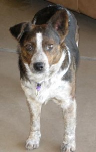 Forrest Special Needs Training for Arizona Cattledog Rescue